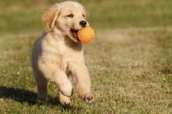 Playful-Golden-retriever-Puppies5087fa3391a4d7542372